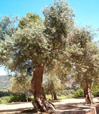 Santu Giuanni e le foglie d'olivastro